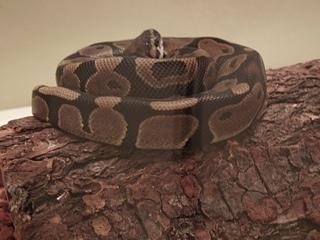 montys snake